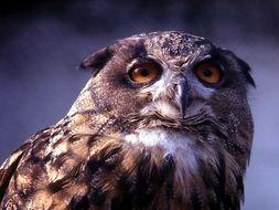 Image of Cape Eagle Owl