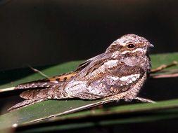 Image of Abyssinian Nightjar