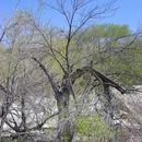Image of velvet ash