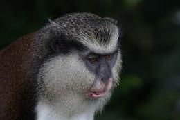 Image of Guenon