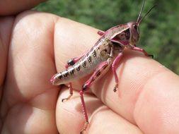 Image of Plains Lubber Grasshopper