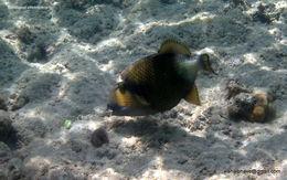 Image of <i>Balistapus viridescens</i>