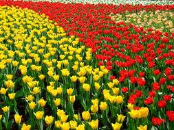 Image of <i>Tulipa gesneriana</i> L.
