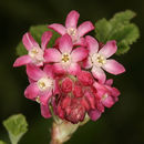 Image of Red Flowering Currant