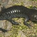 Image of Mole Salamander