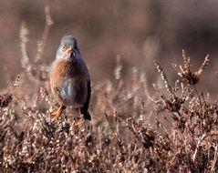 Image of Dartford warbler