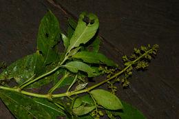 Image of <i>Palicourea lasiorrhachis</i> Oerst.