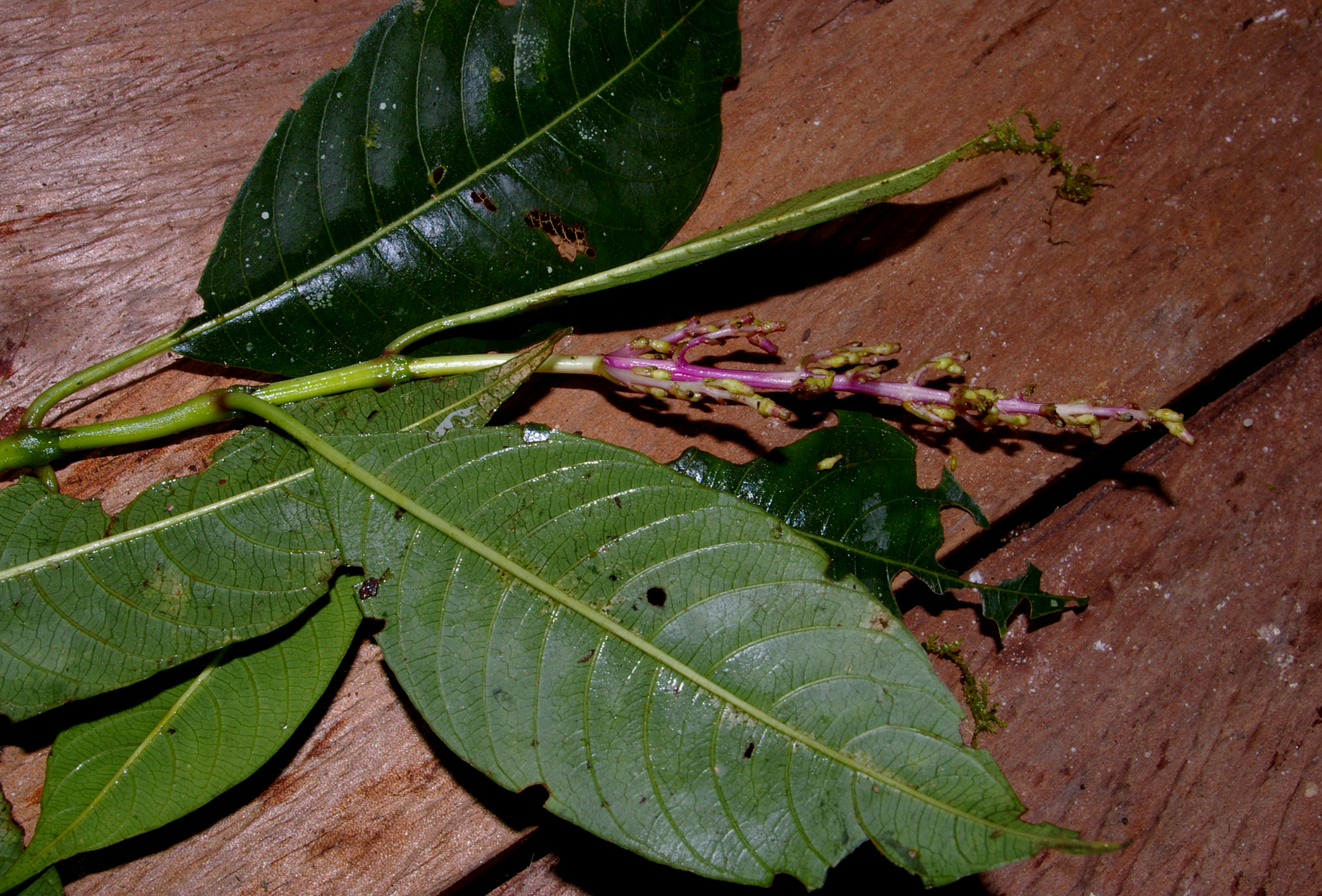 Image of <i>Palicourea purpurea</i> C. M. Taylor