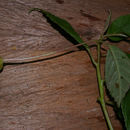 Image of <i>Burmeistera vulgaris</i> E. Wimm.