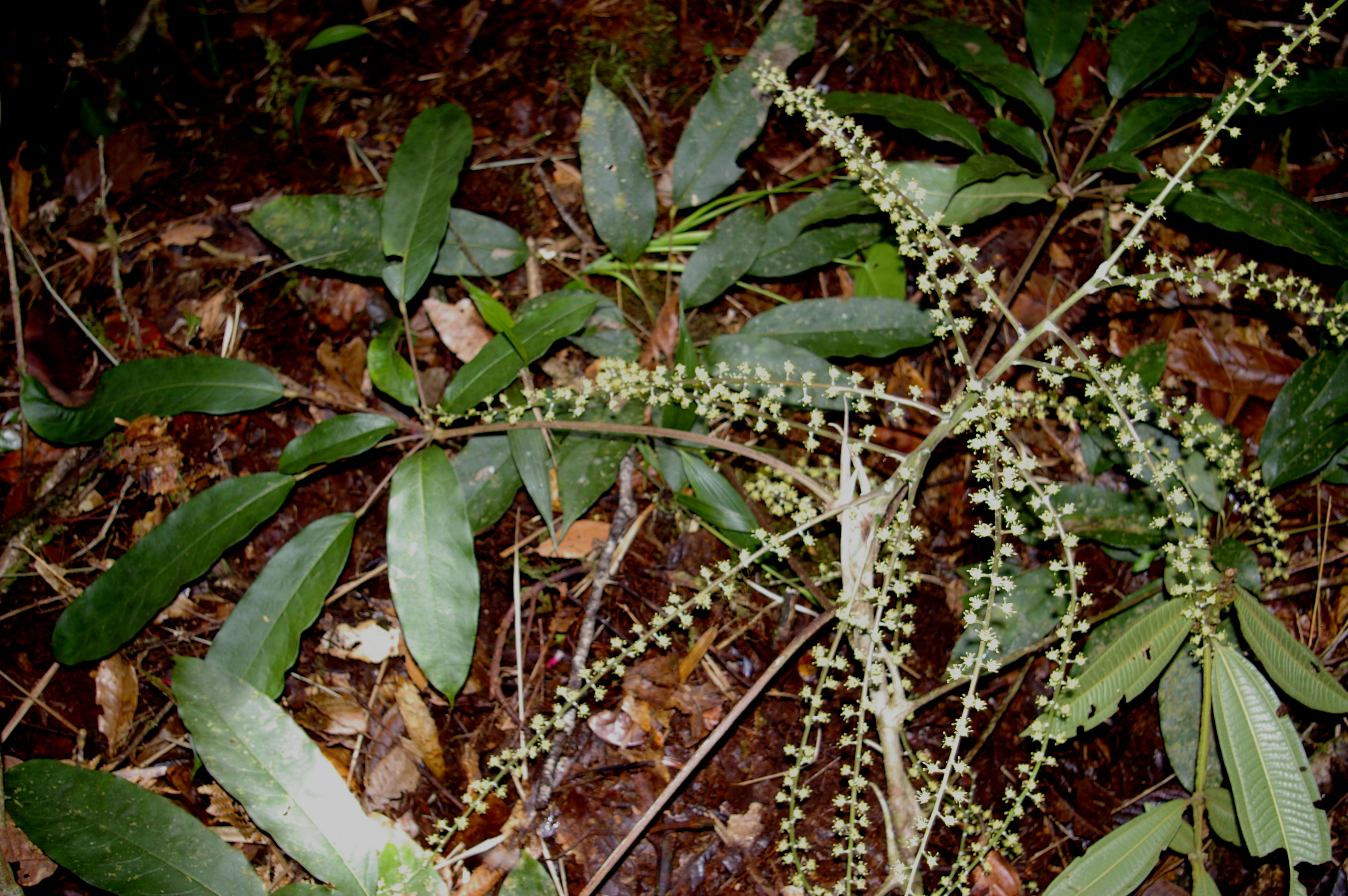 Image of <i>Schefflera robusta</i> (A. C. Sm.) A. C. Sm.