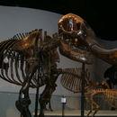 Image of <i>Mammut americanum</i> (Kerr 1792)