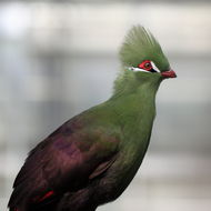 Image of Guinea turaco