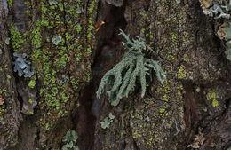 Image of ring lichen