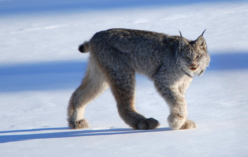 Canada Lynx Encyclopedia Of Life