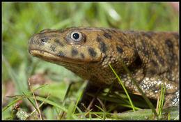 Image of Sharp-ribbed Salamander