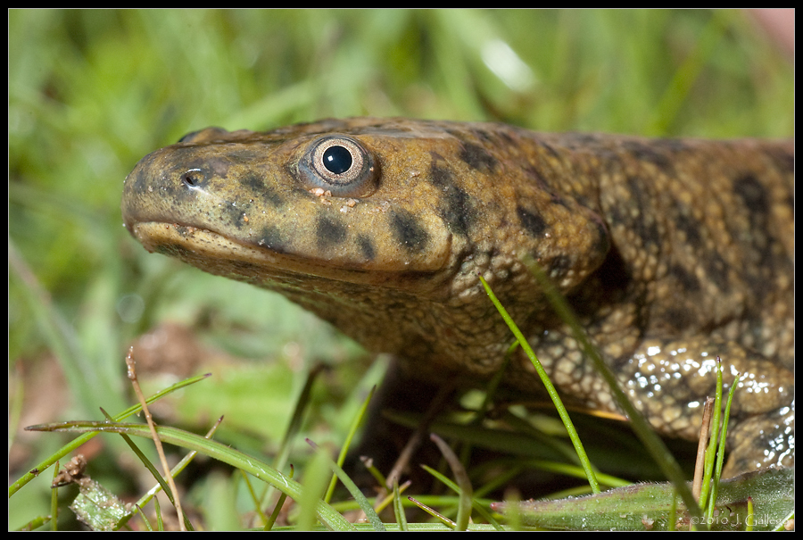 Image of Iberian ribbed newt