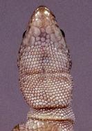Image of Common Night Lizard