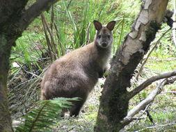 Image of Tasmanian forester kangaroo