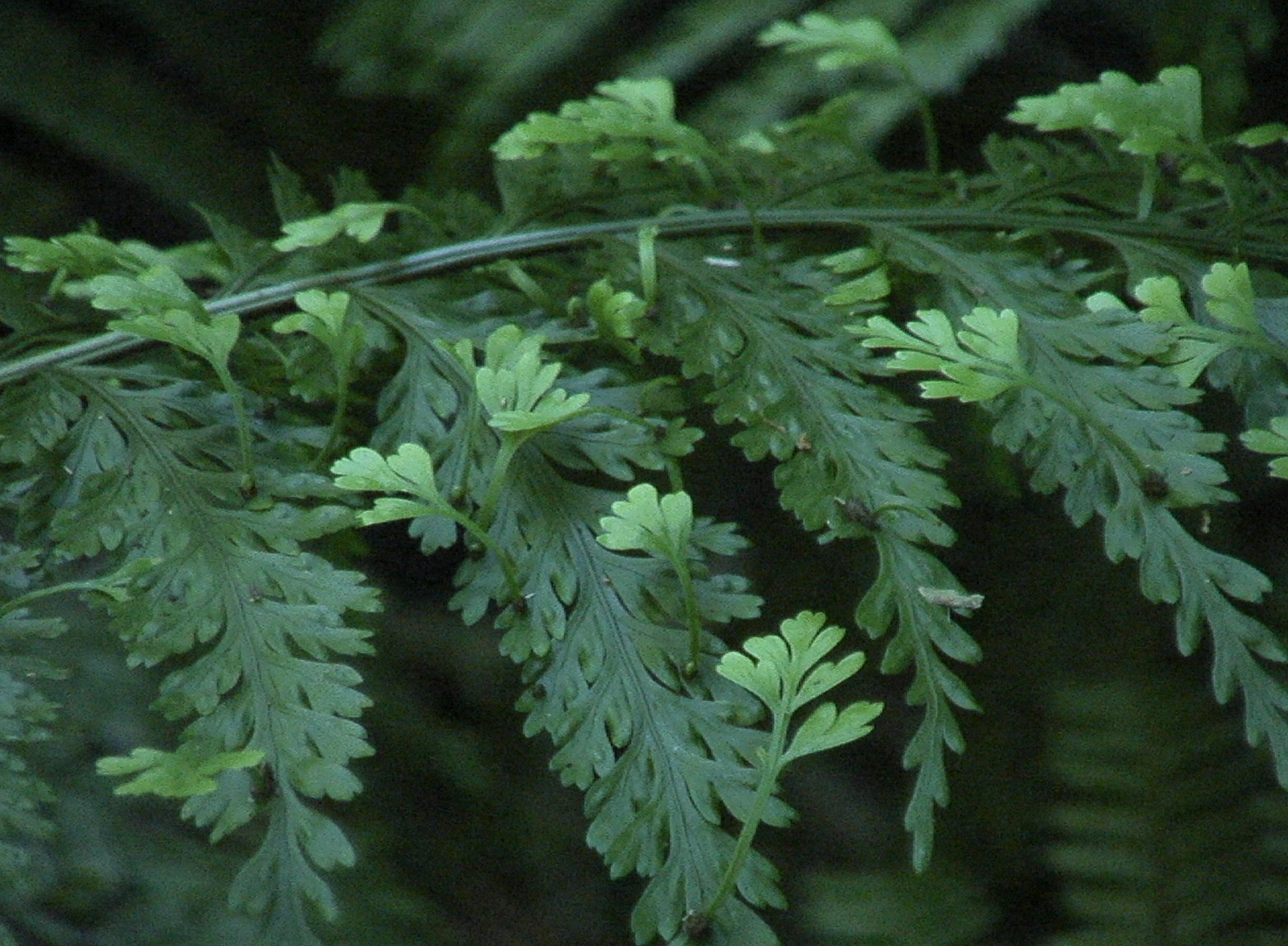Image of <i>Asplenium bulbiferum</i> G. Forst.