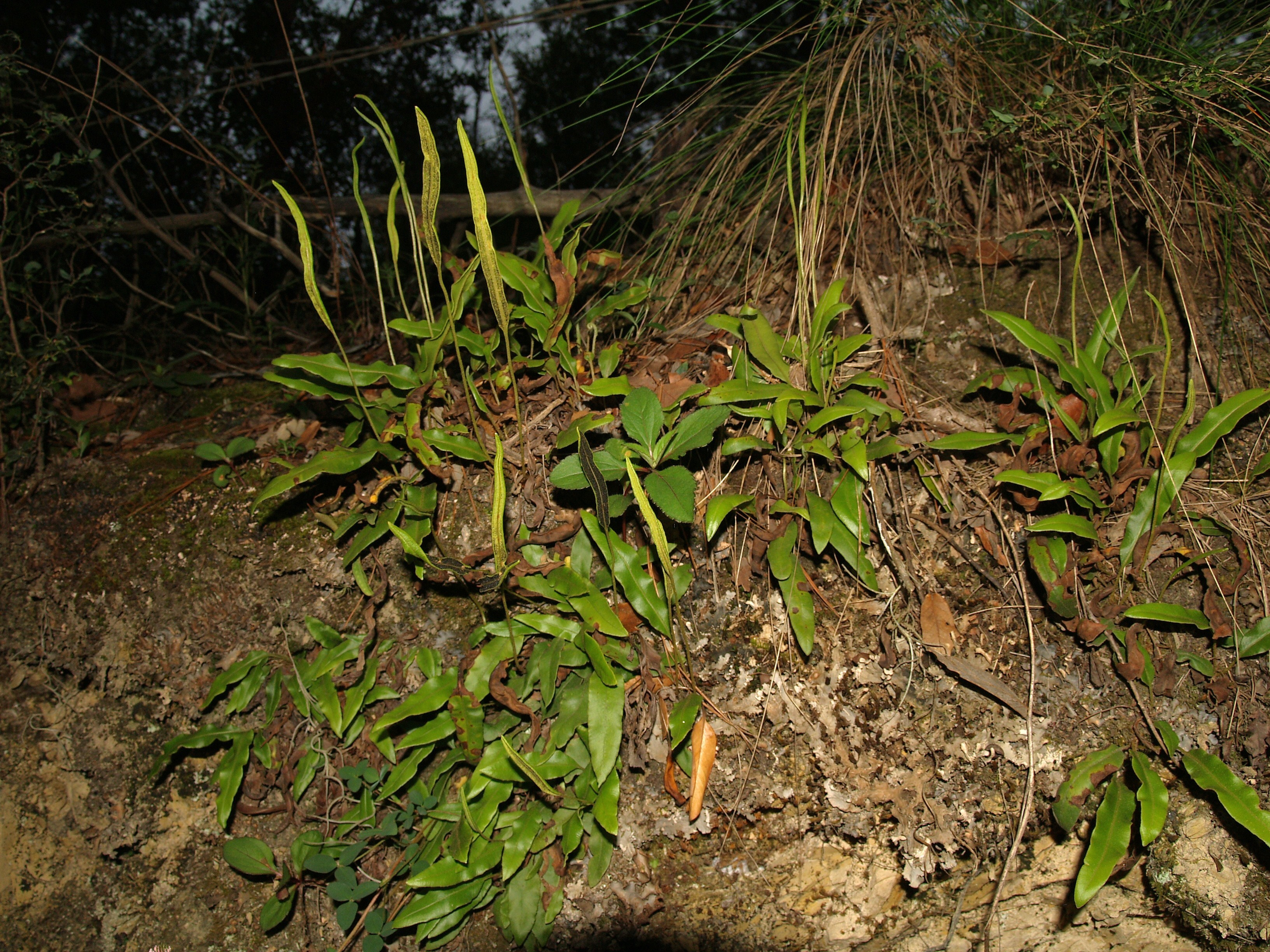 Image of Deer tongue fern