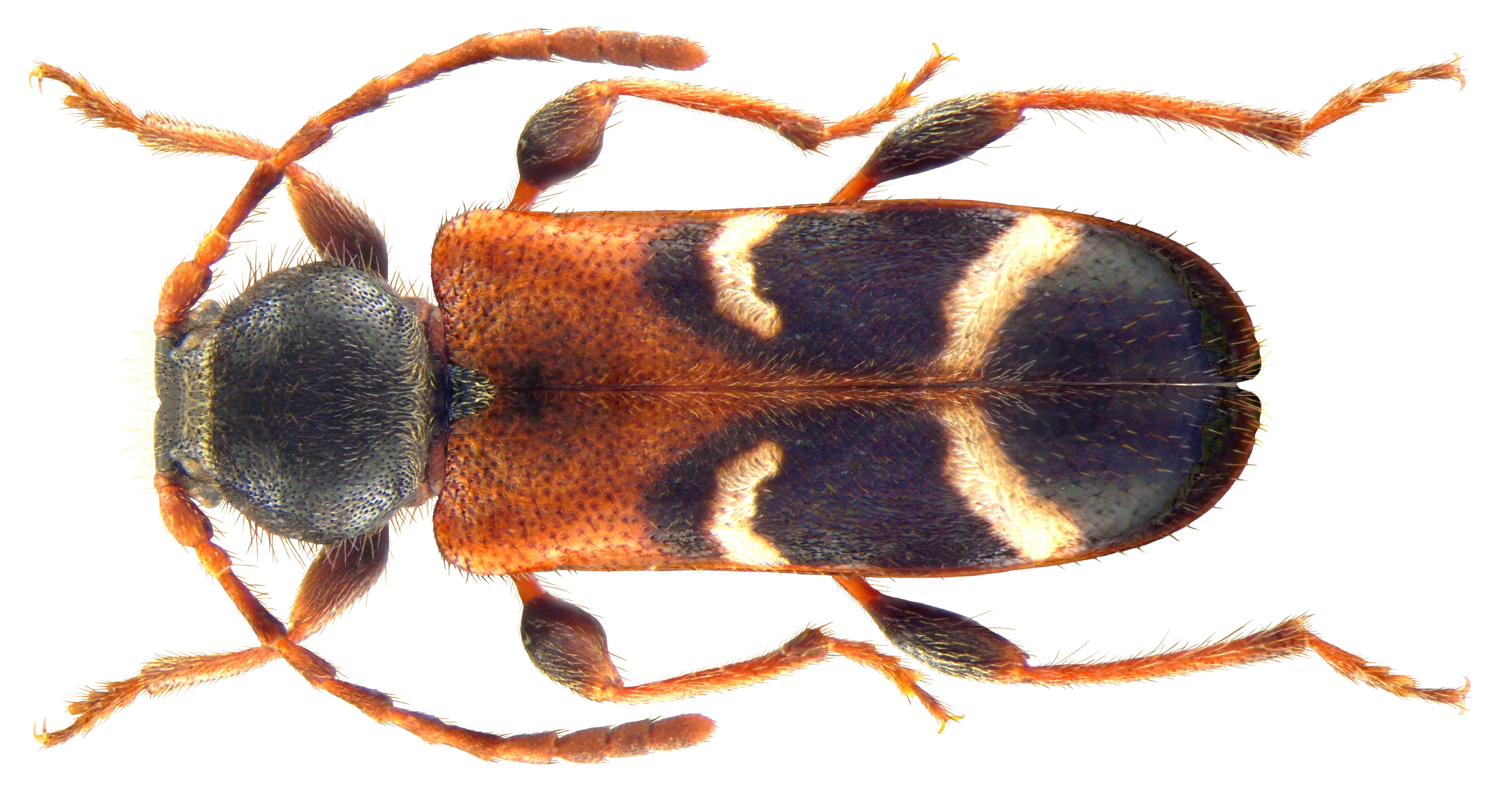 Image of <i>Phymatodes alni</i>