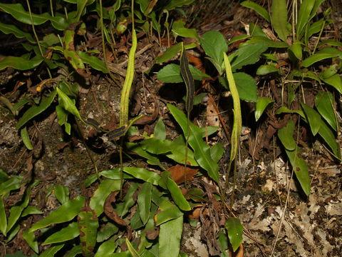 Image of Deer tongue fern