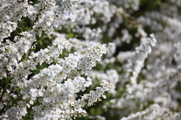 Image of Thunberg's meadowsweet
