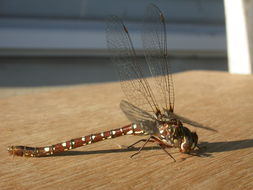 Image of Wide-faced Darner
