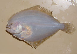 Image of Remo flounder