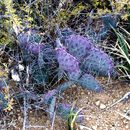 Image of Black-spined pricklypear