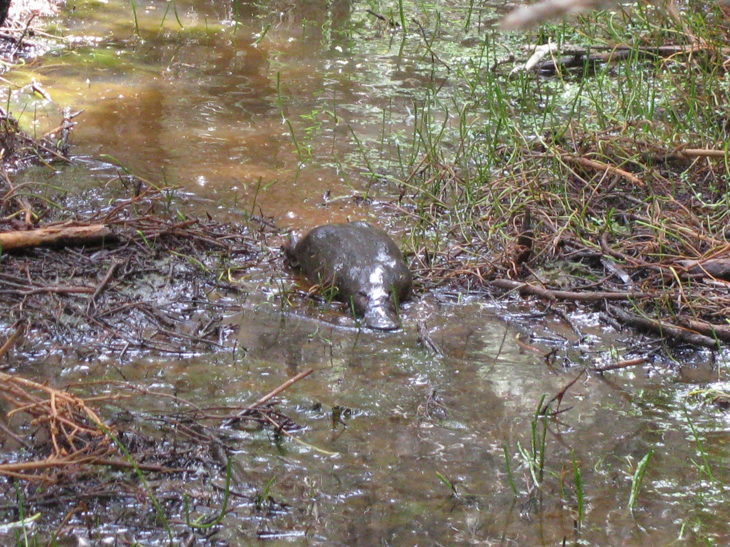 Image of Platypus