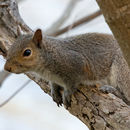 Image of eastern gray squirrel