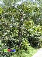 Image of Burmese fishtail palm