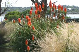 Image of Red Hot Poker