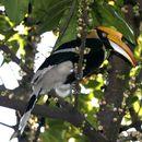 Image of Great Hornbill