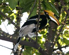 Image of Great Hornbill