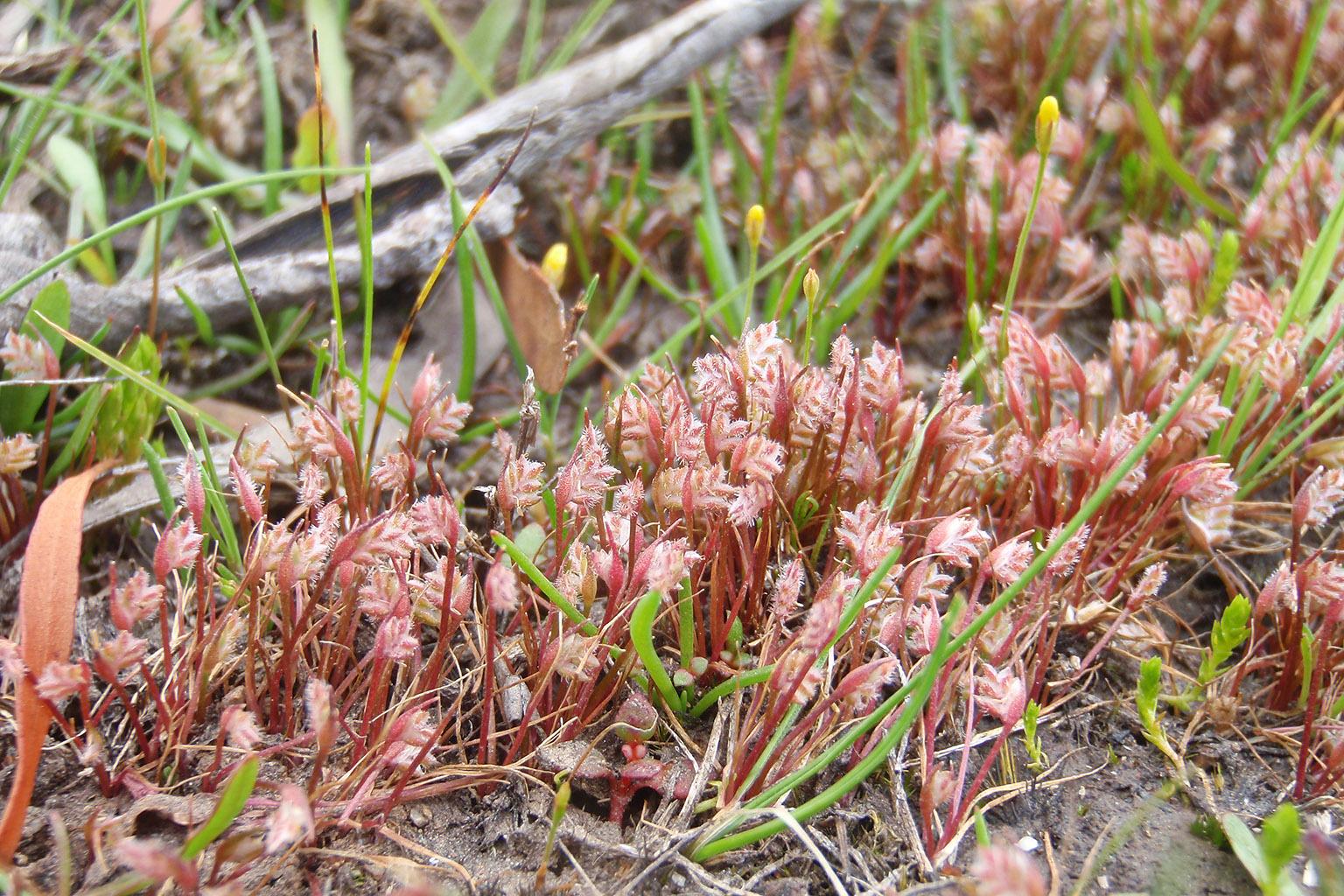 Image of <i>Aphelia gracilis</i> Sond.