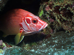 Image of Giant Squirrelfish