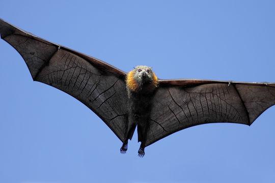 Image of Gray-headed flying fox
