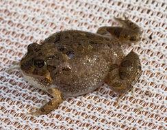 Image of Ornate Burrowing Frog