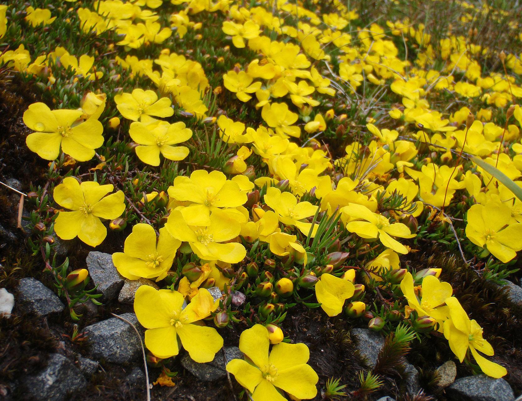 Image of <i>Hibbertia procumbens</i> (Labill.) DC.