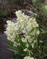 Image of <i>Milligania densiflora</i> Hook. fil.