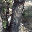 Image of alligator juniper