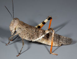 Image of Say's Grasshopper