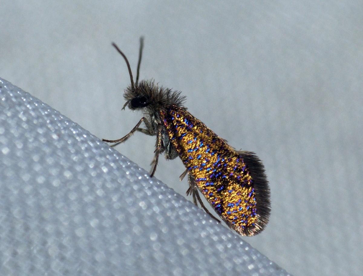 Image of common oak purple
