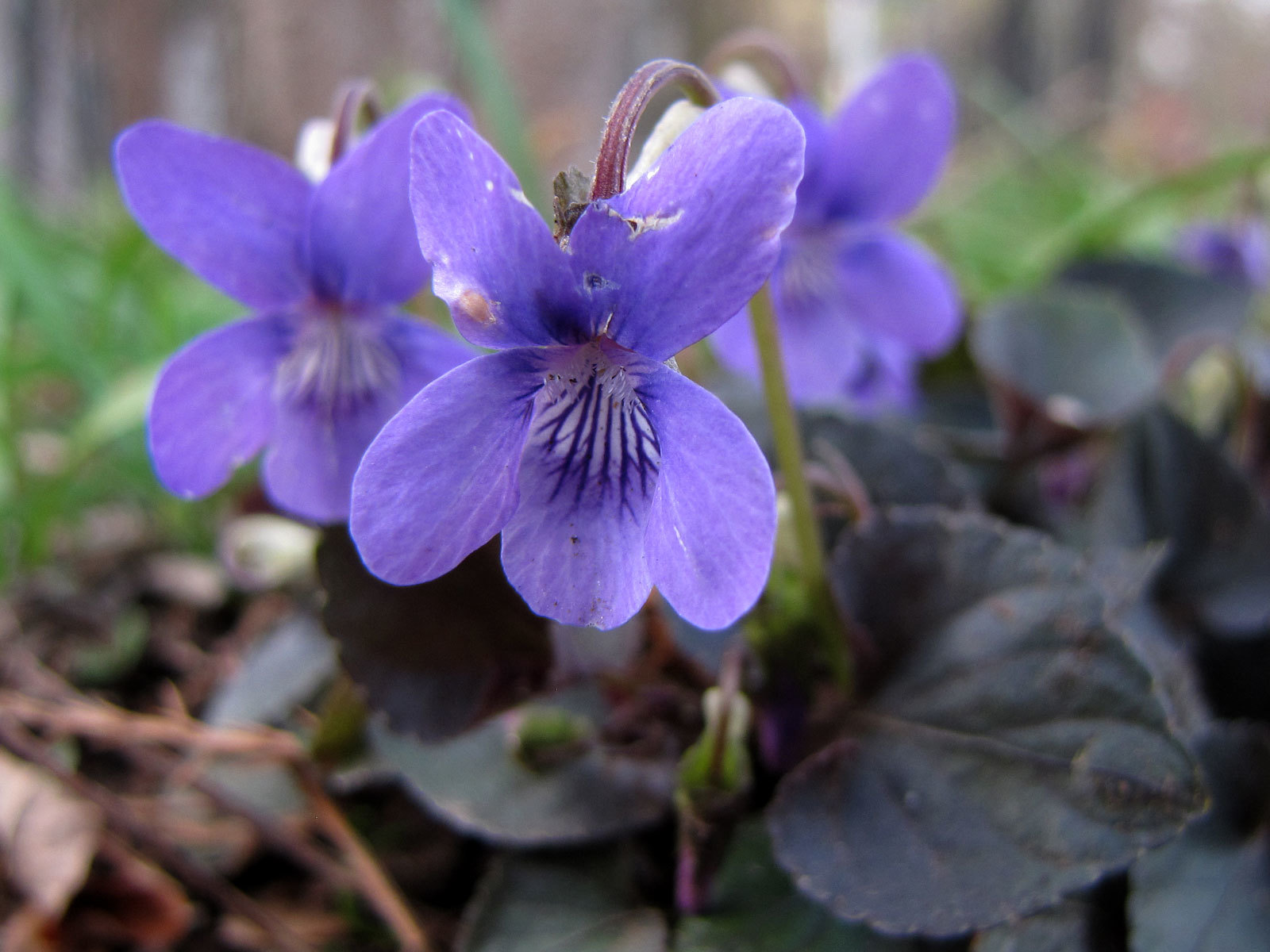 Image of alpine violet