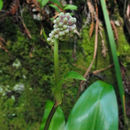 Image of Andrew's clintonia