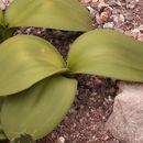 Image of <i>Rauhia peruviana</i>