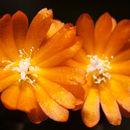 Image of <i>Lepismium miyagawae</i>