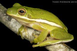 Image of American Green Treefrog